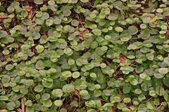 Water Pennywort. Perennial aquatic weed Royalty Free Stock Photos