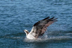 Water Phoenix. Osprey emerging from the river after a dive Stock Photo