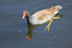 Water Pigeon Paddles in Water Royalty Free Stock Photos