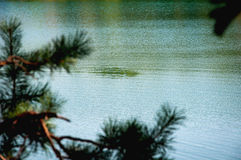Water and pine tree branches Royalty Free Stock Images