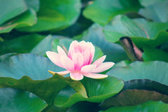 Water ping lily flower with glow Royalty Free Stock Images