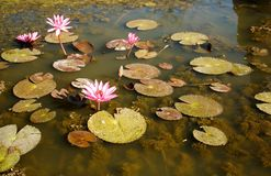Water pink lillies floating in a pond. Photo taken near Bangkok, Thailand stock photo