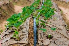 Water pipe supply garden farm strawberries berries in field Stock Photos