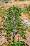 Water pipe supply garden farm strawberries berries in field Stock Photography