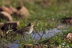 Water Pipit. Is looking for food in a pond Stock Photo