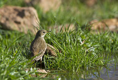 Water Pipit. Is looking for food in a pond Stock Photos