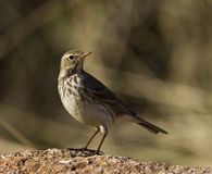 Water Pipit. Is perching on a piece of rock stock image