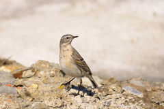 Water Pipit, Anthus spinoletta Stock Images