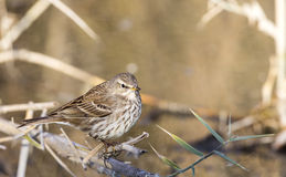 Water Pipit Royalty Free Stock Image