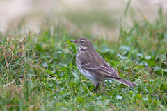 Water Pipit in grass Stock Image
