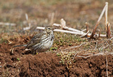 A Water Pipit on the ground Stock Image