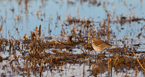 A Water pipit in it´s habitat Royalty Free Stock Photo