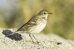 Water pipit in natural habitat - close up / Anthus spinoletta Royalty Free Stock Photo