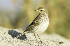 Water pipit in natural habitat - close up / Anthus spinoletta Royalty Free Stock Images