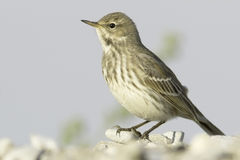 Water pipit in natural habitat - close up / Anthus spinoletta Royalty Free Stock Photos