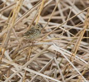 Water Pipit on reed plants Stock Photo