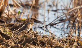 A Water Pipit during winter Stock Images