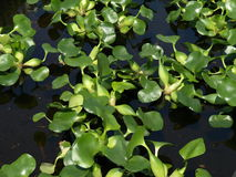 Water plant Royalty Free Stock Photos