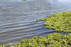 Water plant. Floating water plant america river stock image