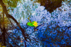 Water plant, flower with reflection in a pond Royalty Free Stock Photos