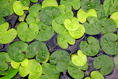 Water-plant foliage Royalty Free Stock Photo