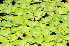 Water plant Stock Photography