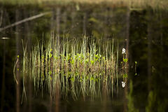 Water plant. Green water plants reflecting in a dark water surface Royalty Free Stock Images
