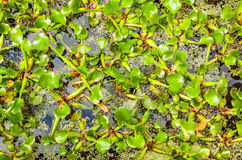 Water plant Royalty Free Stock Photography