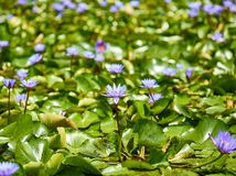 Water plant lily royalty free stock photo