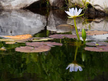 Beautiful reflection of water Lilly Stock Photography