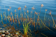 Water plants Royalty Free Stock Images