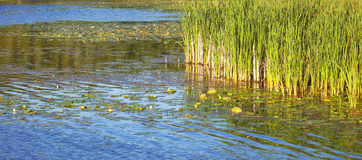 Water plants Stock Photography