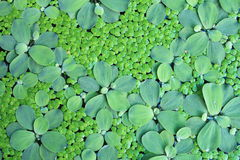 Water plants. Water plant with small and big leaves royalty free stock photos
