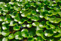 Water plants Royalty Free Stock Photo