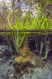 Water Plants Emerge - Blue Hole Springs Royalty Free Stock Images