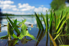 Water plants with insects in the river royalty free stock image