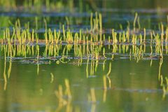 Water plants on the lake