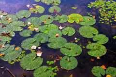 Water plants leafs on water Royalty Free Stock Photo