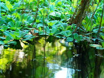 Water plants Stock Images