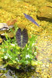 Water Plants in Pond Royalty Free Stock Image