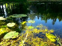 Water plants, reflections of the sky and trees in the water. Sunkight on the flower stock images