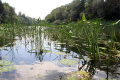 Water-plants on slough Stock Image