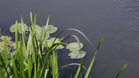 Water plants on the surface. Of the Dnieper River stock video