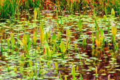 Water plants swamp Stock Images