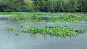 Water plants swim in the river Royalty Free Stock Photo
