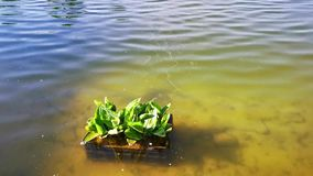 Water plants on thermal lake stock video
