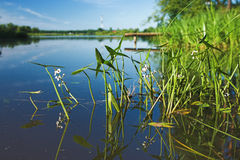 Water plants on the Volga river Royalty Free Stock Images