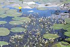Water plants Royalty Free Stock Photos