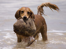 Water play dog Royalty Free Stock Photo
