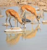 Water point Thomson gazelle stock photo